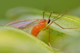 Sitodiplosis mosellana (31299905904).jpg