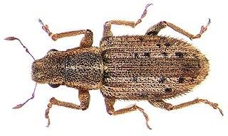 <i>Sitona macularius</i> species of insect