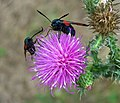 Six-spot Burnet on a spiny plumeless thistle.jpg
