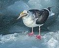 Slaty-backed Gull on sea ice, Hokkaido 1.jpg