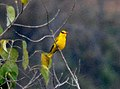 Slender-billed Oriole Oriolus tenuirostris by Dr. Raju Kasambe DSC 4258 (5).jpg