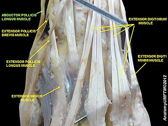 Abductor pollicis longus muscle - Image: Slide 7SSSS