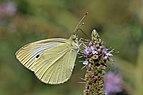 Small white (Pieris rapae) underside Bulgaria.jpg