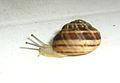 Snail 2751.JPG