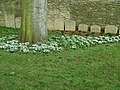 Snowdrops in the Cathedral Close, Peterborough - geograph.org.uk - 1777425.jpg