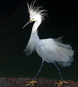 Snowy egret - Image: Snowy Egret Plume