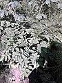 Solanales - Solanum tuberosum - 1.jpg