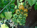 Solanum Lycopersicum tomkin 1.jpg