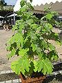 Solanum mammosum2.jpg
