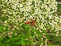 Soldier beetles and little black bugs (27836032790).jpg
