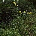 Solidago canadensis var. hargeri whole plant 01.jpg