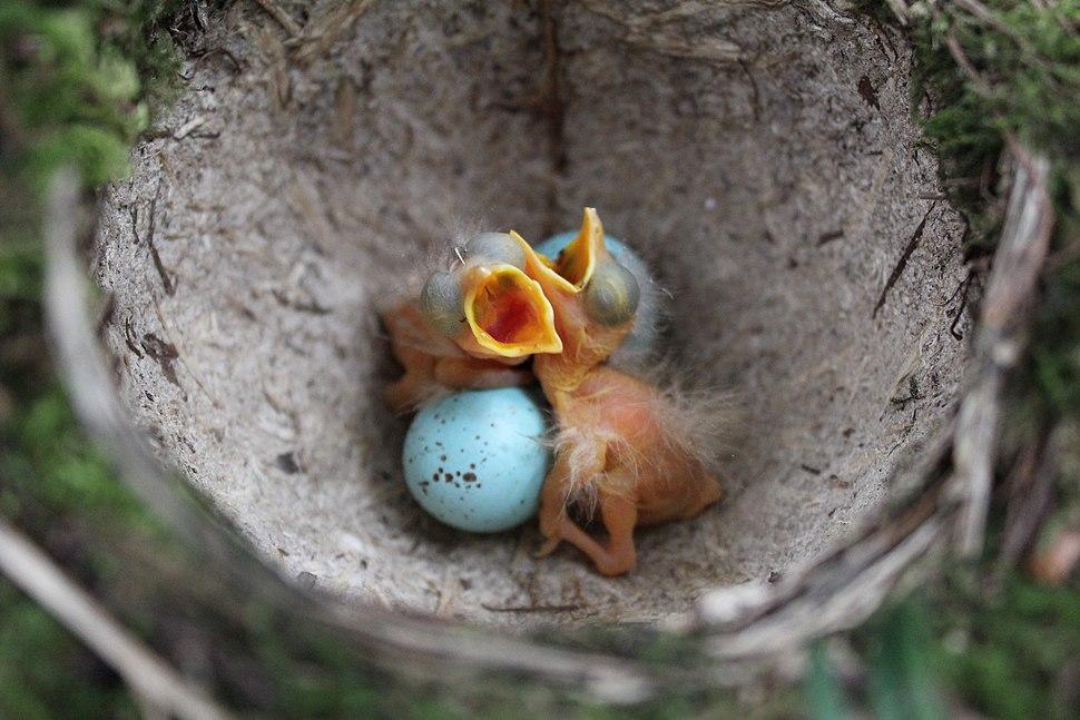 Song Thrush Nest 14-04-12 (7077803691)