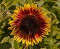 Sonnenblume IMG 6394.jpg