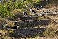 Sooty terns on ground.jpg