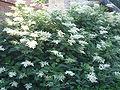 SorbariaSorbifolia2.jpg
