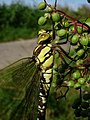 Southern Hawker (Aeshana cyanea) at Wicken Fen - geograph.org.uk - 751338.jpg
