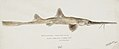 Southern Pacific fishes illustrations by F.E. Clarke 6.jpg