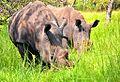 Southern White Rhino, Uganda (15680476175).jpg