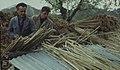 Spanish reeds. Splitting canes for vine supports. April 1964 (38280928882).jpg