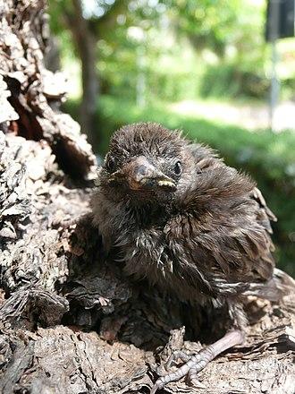 Sparrow - A sparrow chick