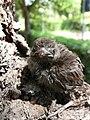 Sparrowchick.JPG