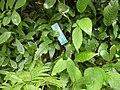 Spathiphyllum mauna loa.jpg