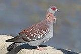Speckled pigeon (Columba guinea guinea) Ethiopia.jpg