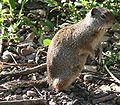 Spermophilus armatus.jpg