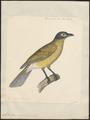 Sphecotheres viridis - 1824-1839 - Print - Iconographia Zoologica - Special Collections University of Amsterdam - UBA01 IZ16400157.tif