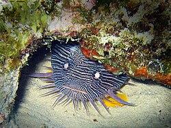 Un poisson-crapaud superbe, caché dans un trou: on ne voit dépasser que sa tête