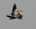 Spot-billed Pelican (Pelecanus philippensis) at Garapadu, AP W IMG 5342.jpg