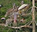 Spot-billed Pelican (Pelecanus philippensis) feeding in Uppalapadu, AP W IMG 5072.jpg