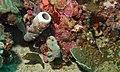 Spotted Sharpnoses (Canthigaster solandri) (6136348464).jpg