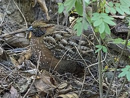 Spotted Wood Quail, Costa Rica, January 2018 (27083973248).jpg