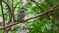 Spotted owlet at IIT Delhi.jpg
