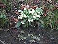 Spring Primrose - geograph.org.uk - 702245.jpg