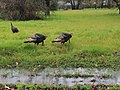 Spring turkeys (32849044920).jpg