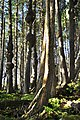 Spruce Burl trail, Kalaloch Beach, Washington 06.jpg