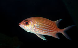 Squirrelfish Holocentrus ascensionis.jpg