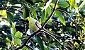 Sri lanka green pigeon.jpg