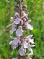 Stachys palustris 1-eheep (5097407091).jpg