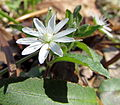 Star Chickweed Laurel Bluff Trail Eno River SP NC 0574 (9144459627).jpg