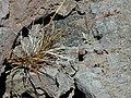 Starr-020625-0028-Luzula hawaiiensis-fruiting-Kalahaku HNP-Maui (24182346499).jpg
