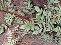 Starr-021126-0068-Rubus niveus-form b leaves-Polipoli-Maui (24471263591).jpg