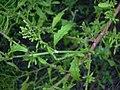 Starr-031108-3203-Dysphania ambrosioides-habit-Tree Top Park-Florida (24648994726).jpg
