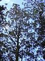 Starr-040713-0126-Eucalyptus sp-habit-Kopiliula-Maui (24086363824).jpg