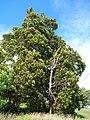 Starr-060503-8063-Lophostemon confertus-habit-Pololei Haiku-Maui (24495572299).jpg