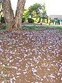 Starr-070519-7137-Jacaranda mimosifolia-flowers on ground-Makawao-Maui (24863052236).jpg