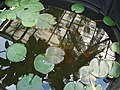 Starr-070906-8541-Nymphaea sp-in water feature-Kula Ace Hardware and Nursery-Maui (24596094720).jpg
