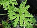 Starr-070906-8721-Pelargonium graveolens-leaves-Kula Ace Hardware and Nursery-Maui (24265000383).jpg